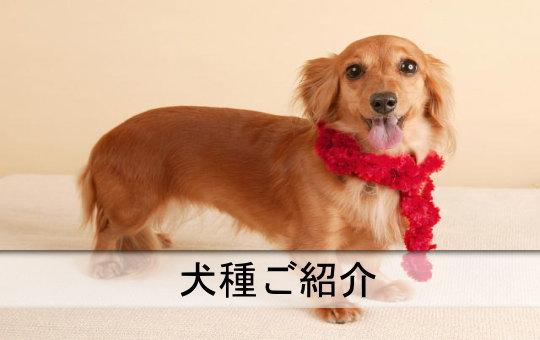 犬種ご紹介